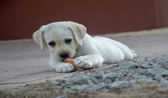 CARROTS CAN BE EATEN BY DOGS